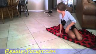 Cat Vs Miniature Beagle Lol Video Playing Cats & Dogs Puppy Fun