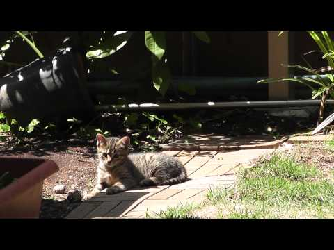 お留守番中のしましま子猫。いろいろ気になって上を見上げたりしていますが、やはり母猫が恋しいようです。