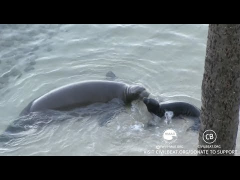 Hawaiian Monk Seal Pup Cam Day 16 Part 2 Kaimana Beach