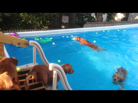 Dogs swimming in intex pool!