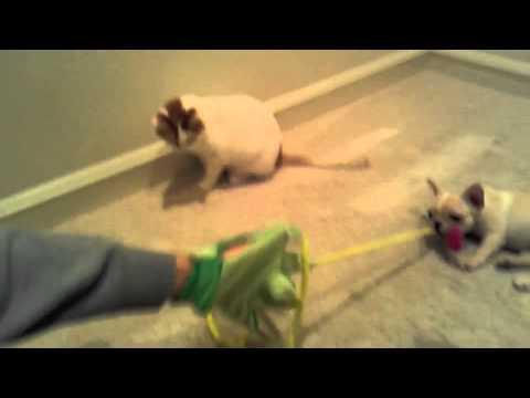 French Bulldog Vs Cat (Lucy vs Sadie Round 1)