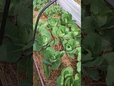 Как вырастить шикарную капусту под укрытием