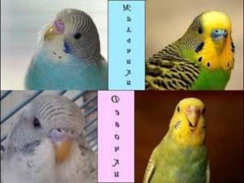 Как отличить волнистого попугая мальчик или девочка
