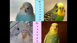 Как определить пол волнистого попугая//самец или самка