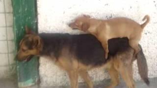 Repeat youtube video mexican dog fight pelea perros sangrienta tambien los chiquitos pueden lutte de chiens comedia