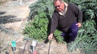 UNCE Orchard Growing Artichokes in the Desert.MP4