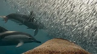 See how Fur Seals use Dolphins for free meals!  | Animals With Cameras | Earth Unplugged
