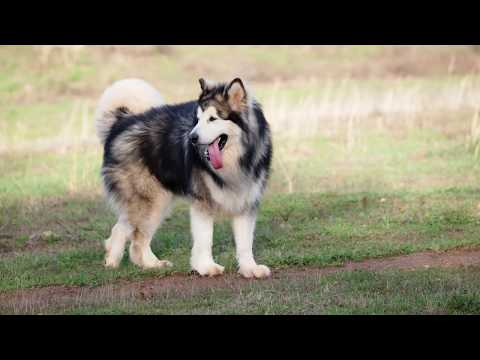 Mountain Ridge Giant Alaskan  Malamutes - FurKids on The Farm