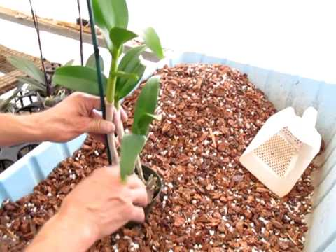 stringtrosor bilder orkide thai