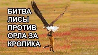 Битва лисы против орла за кролика