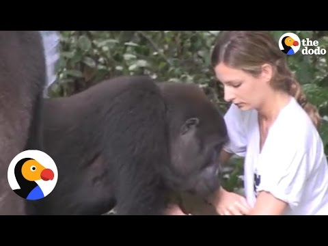 Gorillas Reunite with Girl, Dad Reunite Who Raised Them | The Dodo