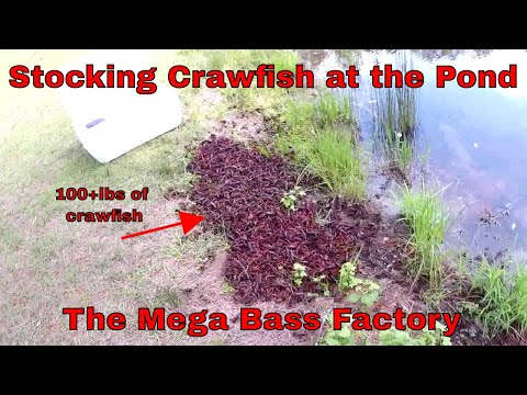 Stocking Bass Pond With 1000 CRAWFISH | Mega Bass Factory | B Fishing |