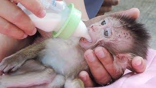 Happy To See Baby Hybrid Kaya Drinking Much Powder Milk For Breakfast Before To Meet Vet PTM 1493