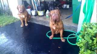 Stout Dogue De Bordeaux Bathtime