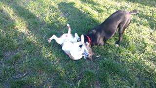Beagle And Cane Corso Playing