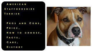 American Staffordshire Terrier. Pros and Cons, Price, How to choose, Facts, Care, History