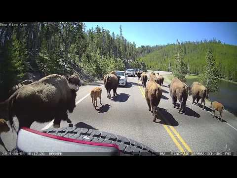 Bison Herd Migrating in Yellowstone