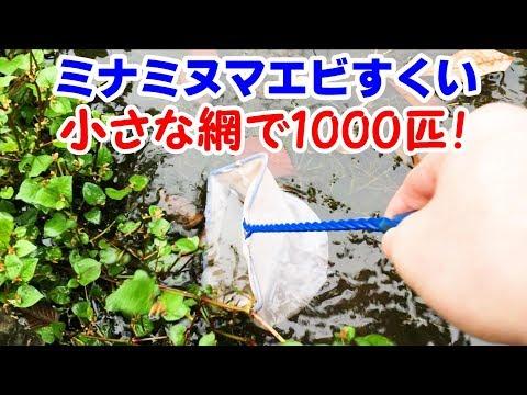 沼でエビすくい 1000匹! エビ水槽立ち上げ!【日淡水槽2018#49】