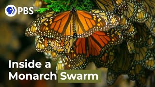 Watch a Breathtaking Monarch Butterfly Swarm