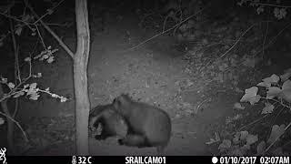 OCT: Playful badger cubs
