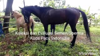 Koleksi dan Evaluasi Semen/Sperma Kuda Pacu Indonesia