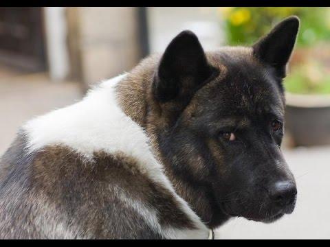 Akita Americano - Raza De Perro