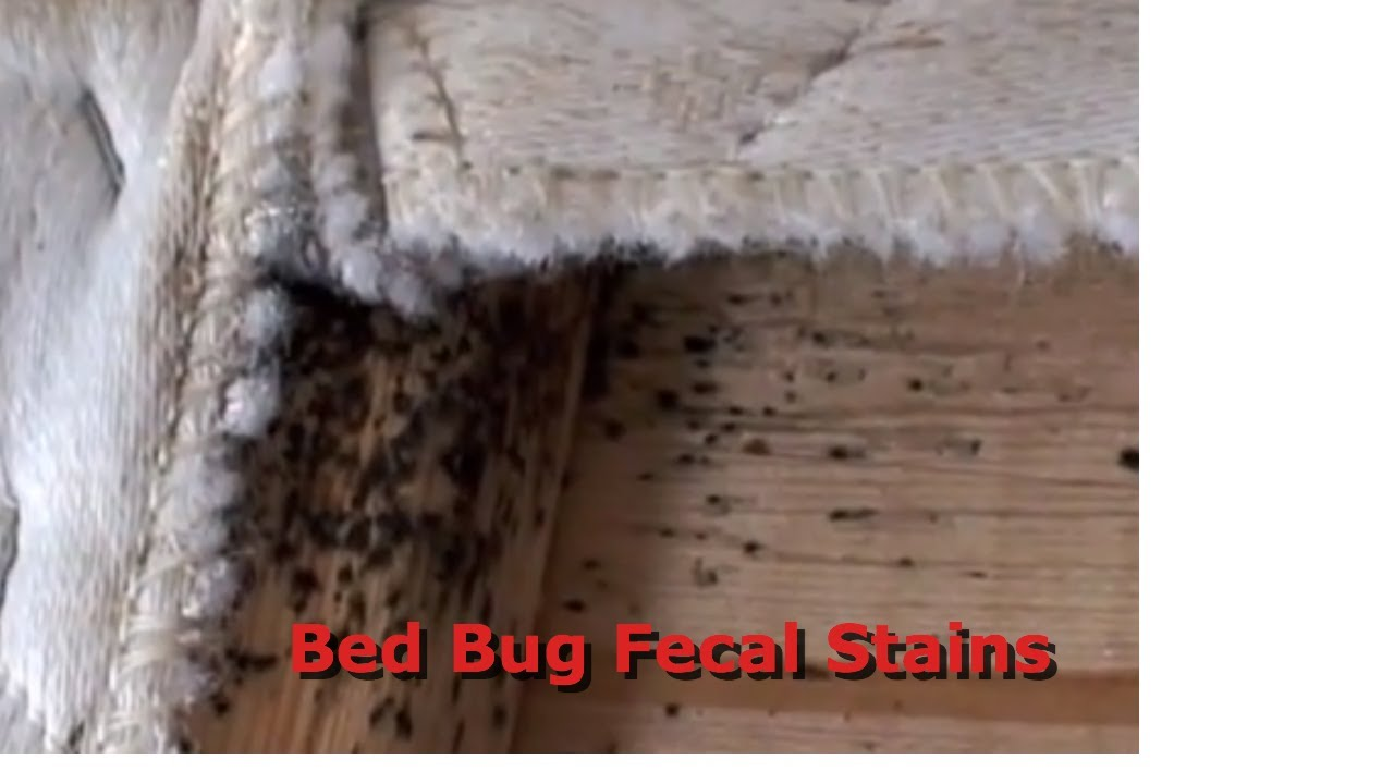What Do Bed Bugs Don