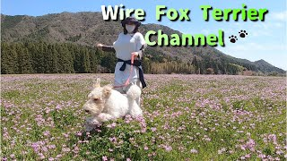 Wire Fox Terrier and open gardens in Japan