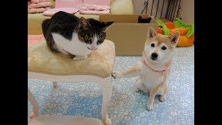 柴犬いちご(13才女子)、猫ミルキー(3才男子)、黒猫さん(ぬいぐるみ...