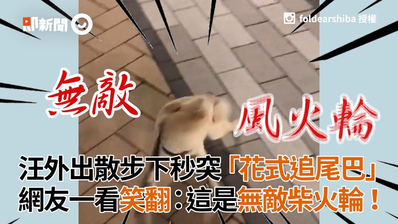 柴犬外出散步下秒突然花式追尾巴 網友笑翻:柴柴正常發揮  這是無敵柴火輪 寵物 狗