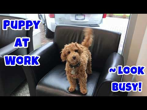 Puppy At Work ~ Look Busy! - Just Gin 2: Cutest Dog Ever! VOL. 40
