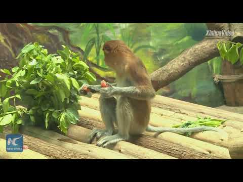 Rare monkeys from Indonesia settle in China zoo