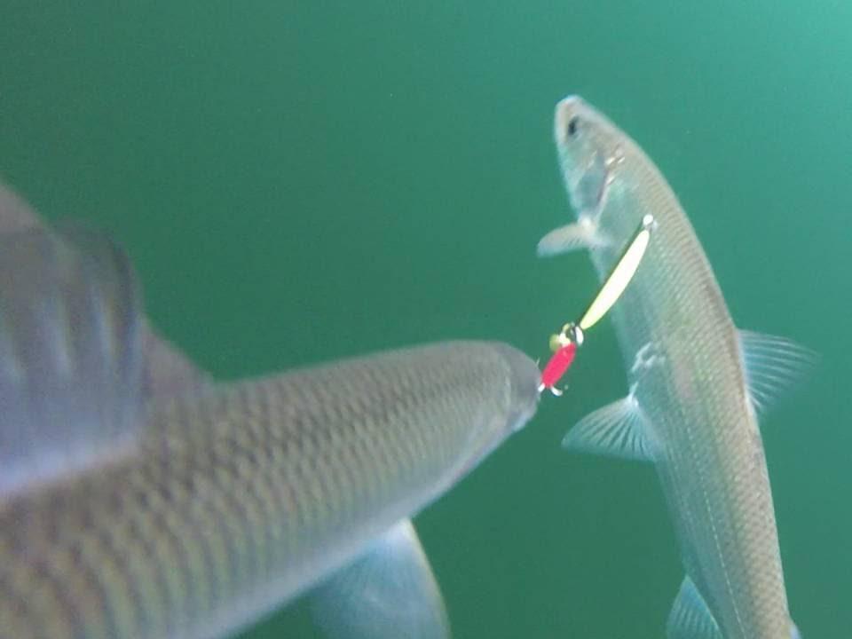 Gopro underwater video of cisco herring ice fishing on for Cisco s sportfishing fish count