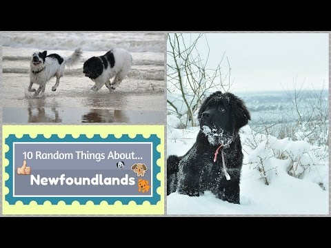 10 Random Things About...Newfoundlands