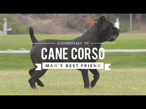 cane-corso:-man's-best-friend