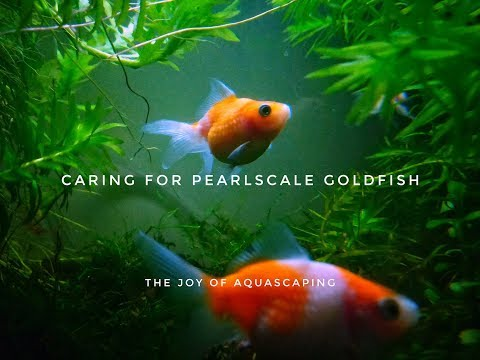 Caring For Pearlscale Goldfish