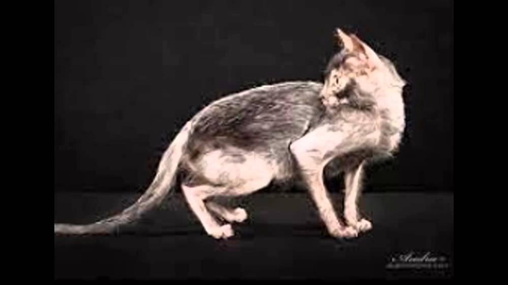 Абиссинская кошка в хабаровске. Абиссинская кошка в хабаровске объявления о продаже кошек, котят с фотографиями.