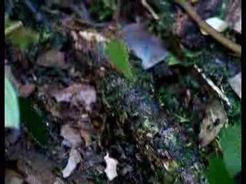 Atta (leaf cutter ants) in French Guiana