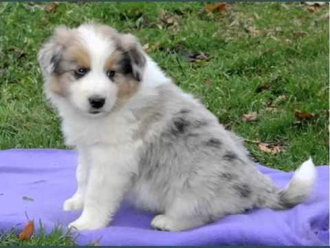 Set Of Useful Picture Ideas Of Pomeranian Australian Shepherd Mix