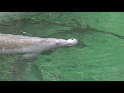 It's Manatee Viewing Season At Blue Springs Florida | Nature Walk, Wildlife & Over 200 Manatees!
