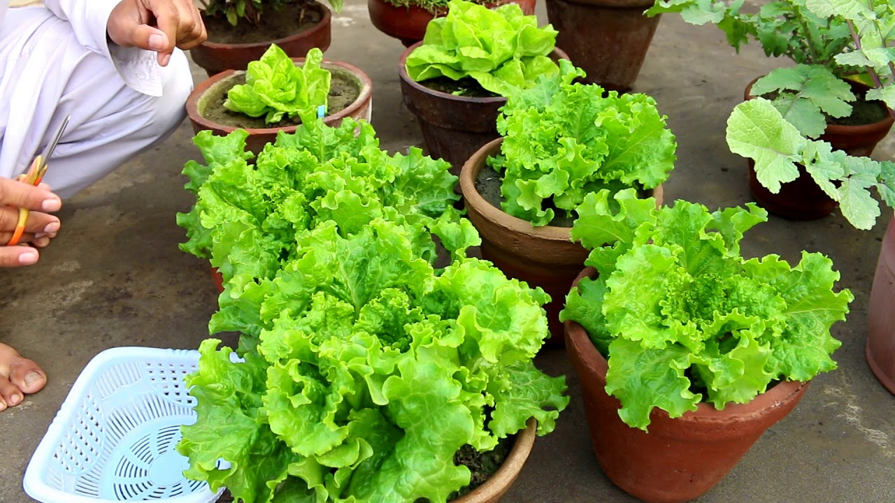 Gamalon Mein Salaad Patta Lettuce Growing And Care Urdu