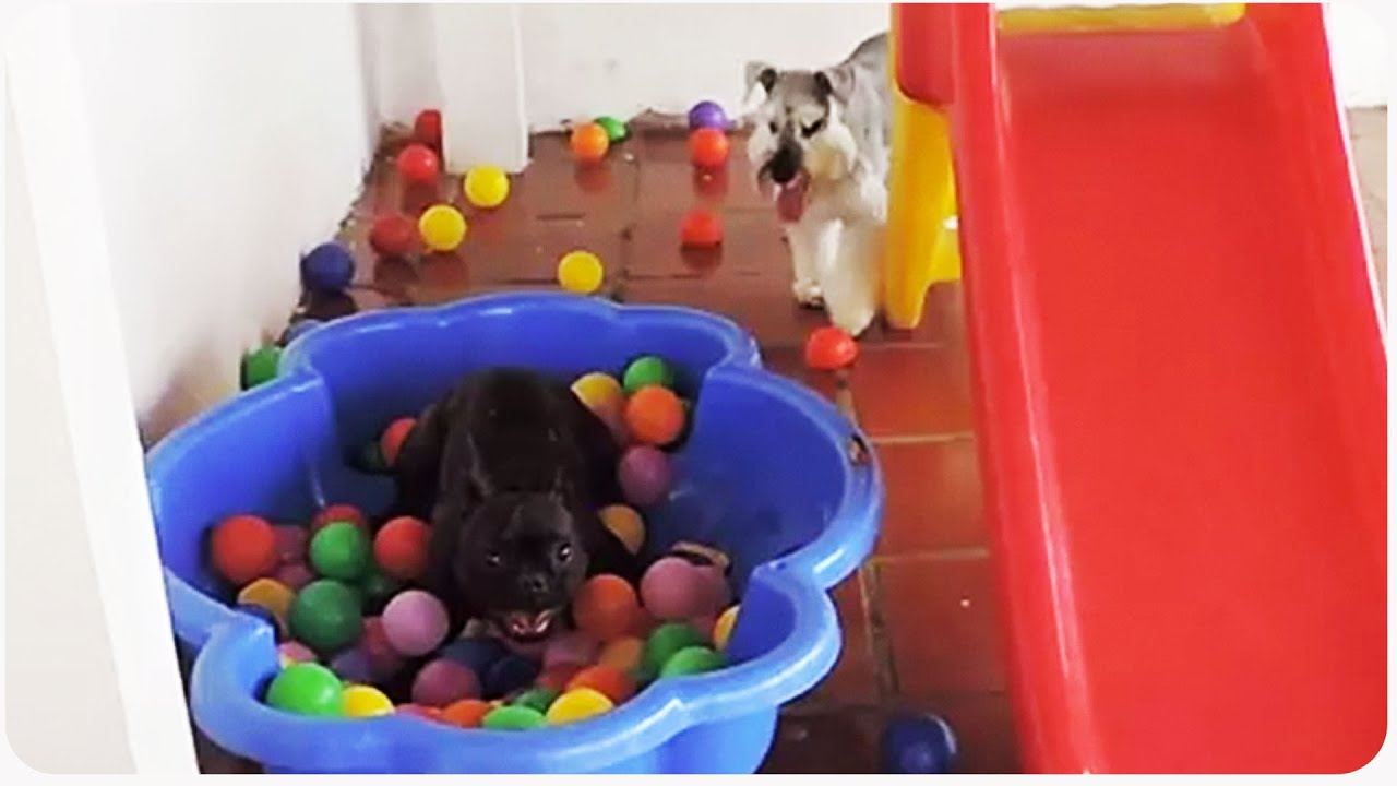 Watch How This Dog Reacts When He Sees A Ball Pit For The