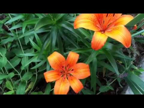 5 Reasons to Grow Asiatic Lilies in Your Garden! #lowmaintenance #flowers