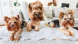 How Often Should You Bathe A Yorkie?   Yorkshire Terrier Dogs 101