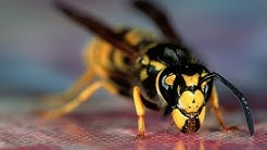 Wasp warning as hot weather brings 'worst year ever' for stinging insects