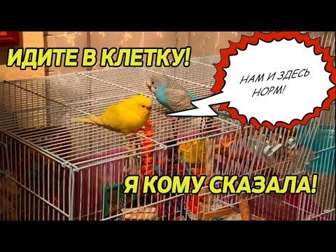 Вопрос: Попугай вылетел в окно, в округе много птиц, есть ли шанс вернуть?