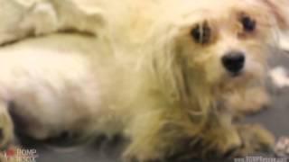 Badly Matted Rescue - Backyard Breeder Surrender - Maltese - Romp Italian Greyhound Rescue