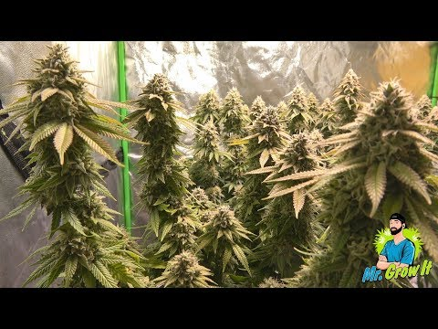 FEEDING NUTRIENTS TO MARIJUANA PLANTS! - BLOOM YELLOW BOTTLE