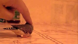 Ручной зебровый амадин (Вошка)