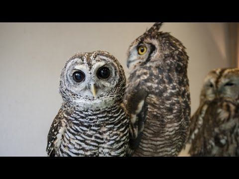 When Owls Bob Their Heads, They're Not Trying To Be Creepy - Newsy